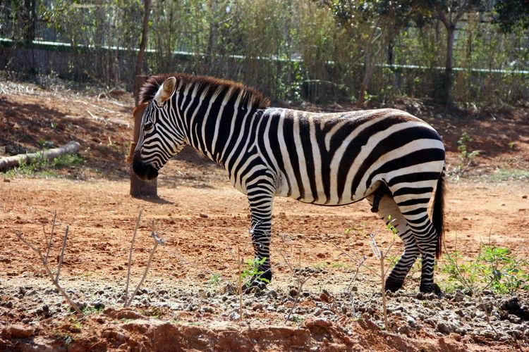striped beauty