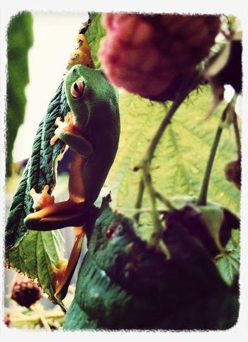 Green tree frog!!!