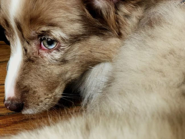 Eyes Animal Animal Themes Mammal One Animal Close-up Animal Body Part Vertebrate Pets Portrait Domestic Animal Wildlife Animal Head  Canine Animal Eye Indoors  Dog Looking Away Eye No People Domestic Animals