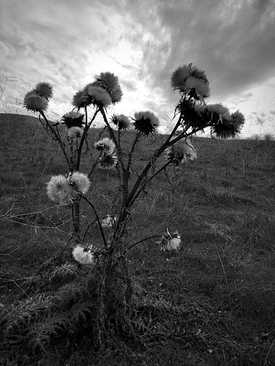"""The Gathering"" Thistles stand against a dramatic sky. Thistles Thistle Blackandwhite Photography Black & White Blackandwhite Cloud_collection  Sky And Clouds Clouds And Sky"