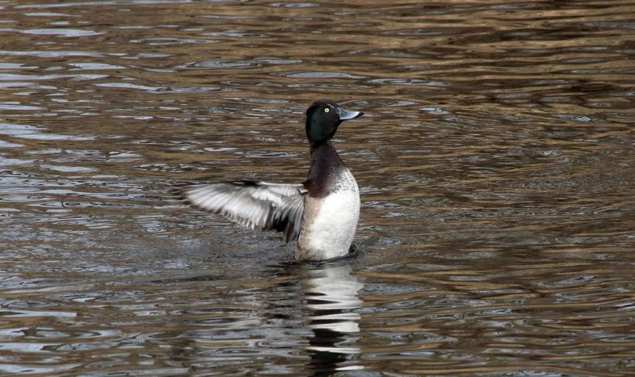 Bird Photography Nature Photography Beauty In Nature Birds_collection Nature_collection Reiherente River Water