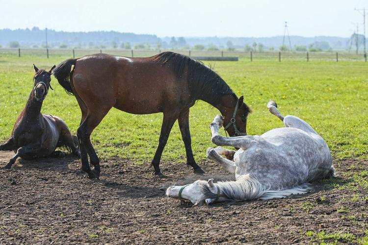 Animal Themes Arabian Horses Domestic Animals Field Galloping Grass Herd Of Horses Horse Horse Stud Horses Mammal Nature No People Outdoors