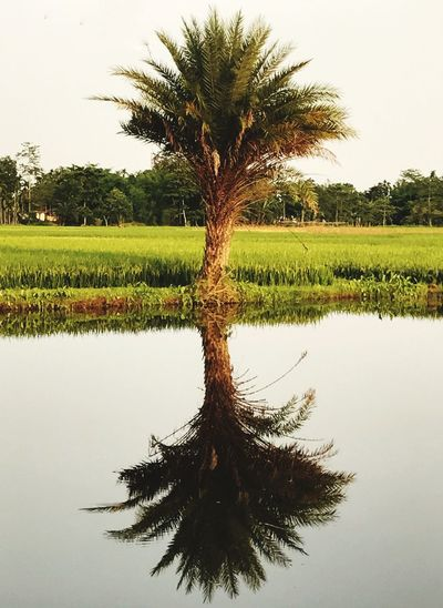 Tree Growth Tranquil Scene Nature Tranquility Palm Tree Scenics Tree Trunk No People Sky Beauty In Nature Clear Sky Lone Outdoors Landscape Day BYOPaper! Iftreescouldspeak