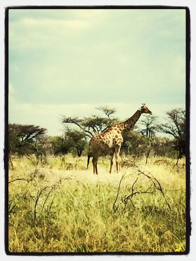 Game Drive Etosha lots of Animals Giraffe Nambw2014