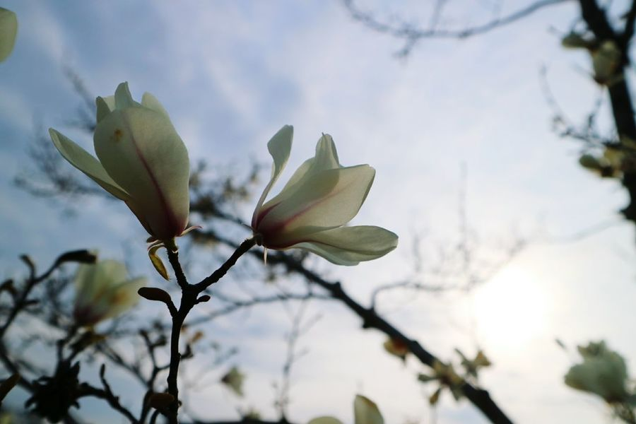 Plant Tree Low Angle View Beauty In Nature No People Leaf Flower Sky Nature Close-up Beauty Branch Day Freshness Japan Blossom Fleur Nature Plant Beauty In Nature Fragility White