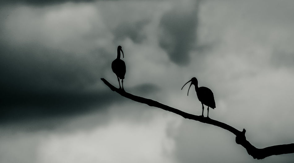 watchers Birding Silhouettes Beauty In Nature Close-up Day Flower Flower Head Fragility Freshness Growth Ibis Monochrome Nature No People Outdoors Plant Silhouette Sky