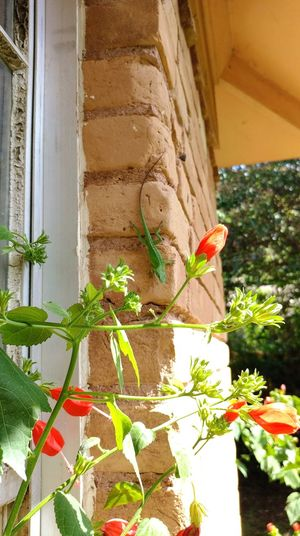 Plant Outdoors Day Flower Nature Growth No People Freshness Architecture Brick Brick Wall Lizard Green Flowers Red Flower Turk's Cap Lily Green Lizard