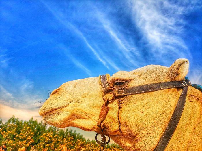 Kamel. Trampeltier. Kopf. Wüste. Camel Camel Riding Camel Racing Camels Travel Camel Trip Camelus Dromedarius Camel's-foot Camel Headshot Camel Head Desert Desert Life Desert Dunes Trip Safari Animals Tack Bridle Dromedary Bactrian Camel Bactrian Arabic Arabian Egypt Tunisia Marocco Algeria Tree Blue Sky Close-up Cloud - Sky