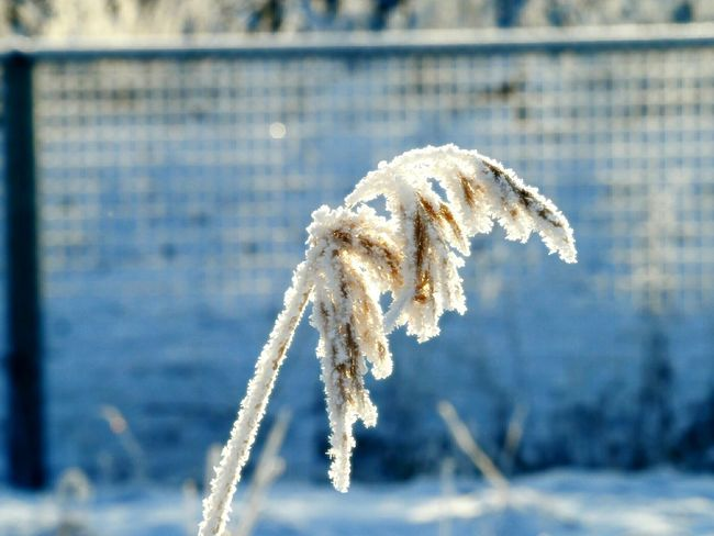 Snow Covered Shades Of Winter Frozen Plant Beautiful Nature Cold Weather Frozen Nature Winter Nature Day Iced Ice Crystals Nature Beauty Naturephotography Winter Day Nature Close-up Focus On Foreground Snow Cold Temperature Outdoors No People Beauty In Nature Fragility Snowflake