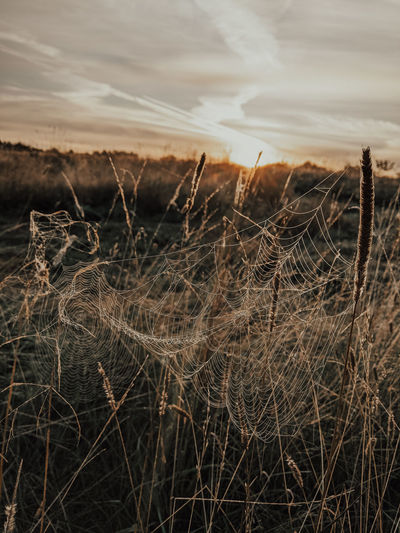 Close-up of dry grass on field against sky during sunset
