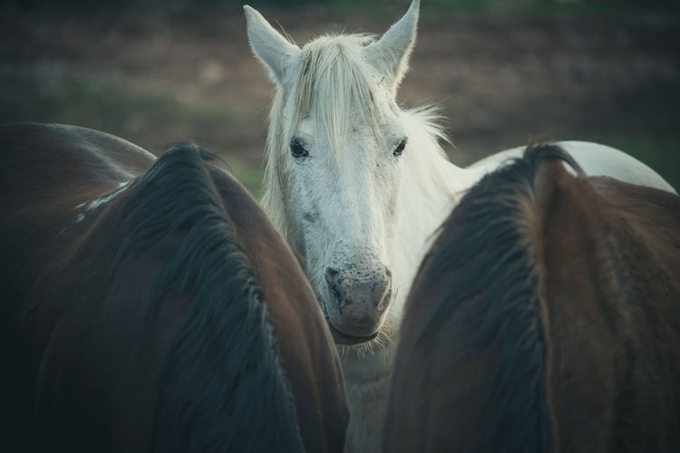 White domestic horse looking forward in the meadow