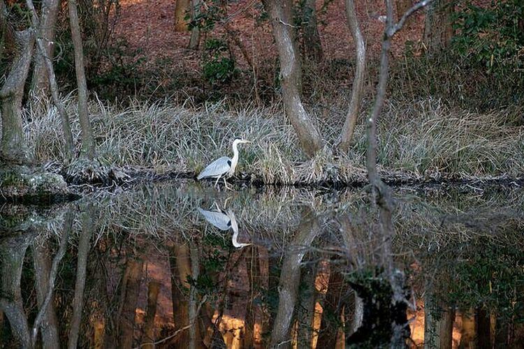 井頭公園のアオサギさん。 Bird Photography Birds Ardea Cinerea Bird Watching Fujifilm