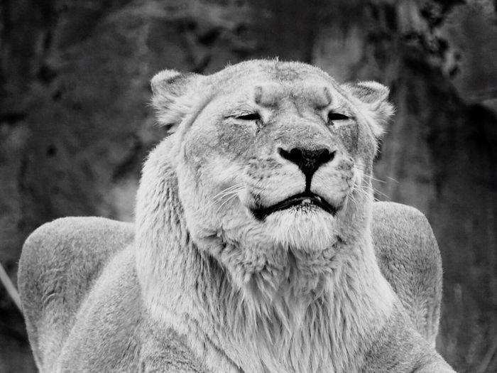 Tiger Relaxing Moments Animal_collection Animals Animal Helloworld Showcase April Animal Photography EyeEm Animal Lover We Are Photography, We Are EyeEm EyeEm Best Shots Blackandwhite Black And White Black & White Blackandwhite Photography Black&white Black And White Photography Blackandwhitephotography Black And White Collection  Black And White Portrait I Love My Cat Cat Cats Monochrome Photography
