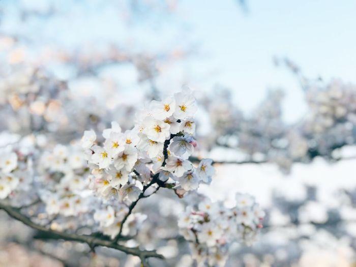 桜 Flower Sakura Day First Eyeem Photo