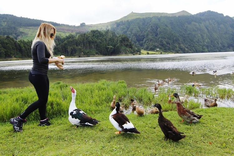 Swans at lakeshore against sky