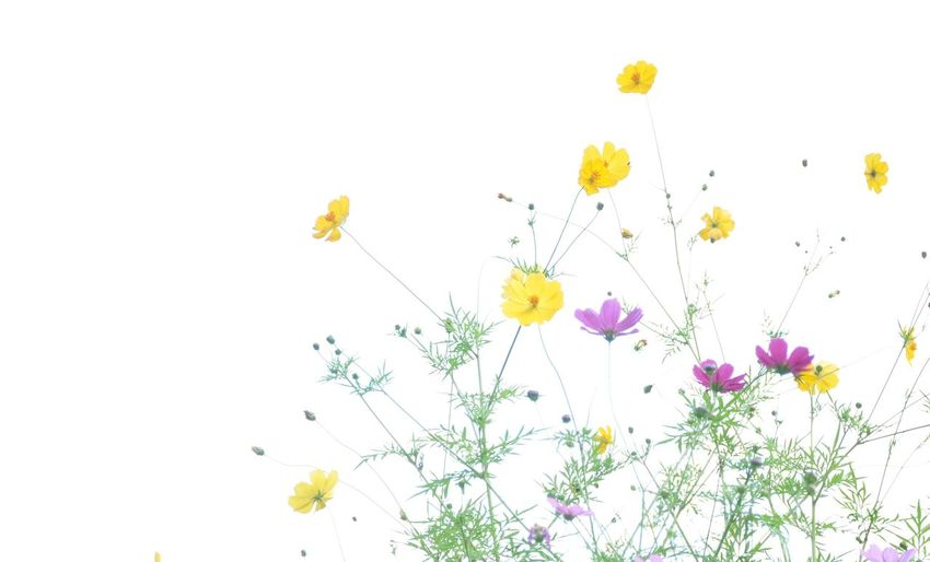 Flower Yellow Nature Uncultivated Purple Growth White Background Plant Blossom Petal Green Color Multi Colored Flower Head Beauty In Nature Freshness No People
