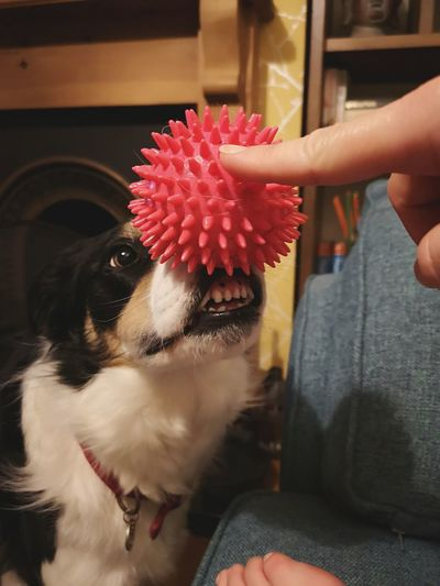 I'm not sure if there is human connection here. she just wants the toy Dog Toy Persons Fingers Person Holding Ball On Dogs Mouth Dog Teeth Human And Dog Pets Dog Women Border Collie Human Connection