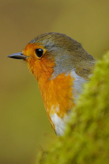 Christmas Animal Themes Animal Wildlife Animals In The Wild Bird Christmas Robin Close-up Day Nature No People One Animal Outdoors Robin