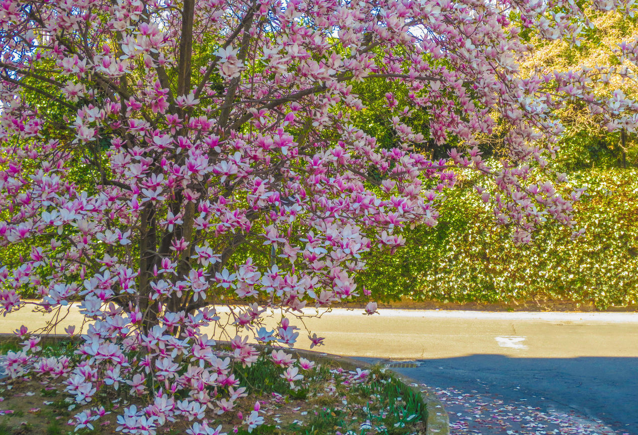 flowering plant, flower, plant, beauty in nature, growth, fragility, vulnerability, nature, freshness, tree, pink color, day, purple, no people, outdoors, tranquility, springtime, land, blossom, water