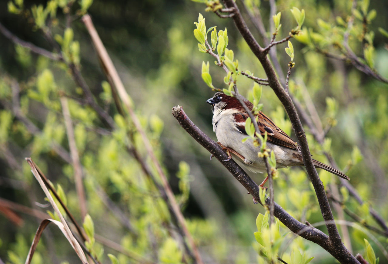 one animal, animals in the wild, animal themes, animal wildlife, nature, perching, bird, branch, no people, day, tree, twig, outdoors, focus on foreground, sparrow, plant, beauty in nature, close-up