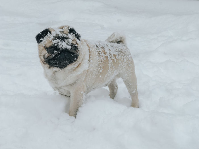 Pug Pug Life  Pugs Pug Dog Dog In Snow Snow Cold Temperature Winter Dog One Animal Canine Mammal Pets Animal Themes Animal Domestic Domestic Animals White Color Day Nature No People Vertebrate Land Field Outdoors Snowing