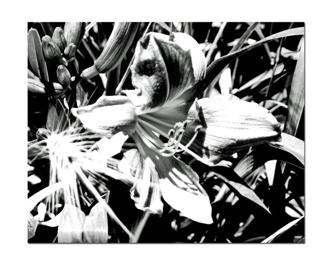 Lilies In The Garden 1 Liliaceae Lilium Flowering Bulbous Plant Fragrant Tall Stems Estate Garden Meeks Mansion Cherryland,Ca. Garden Photography Garden Collection Nature Playing With Effects Conte Crayon Grayscale Black & White Black And White Photography Black And White Black And White Collection  Monochrome Landscape