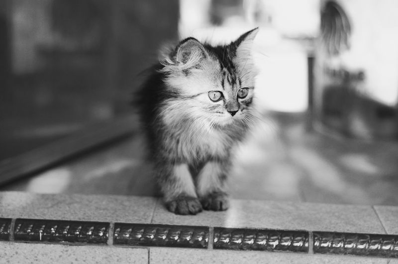 Kitten Pets Domestic Cat Sitting Close-up Whisker Kitten Persian Cat  Carnivora Cat Feline At Home Siamese Cat