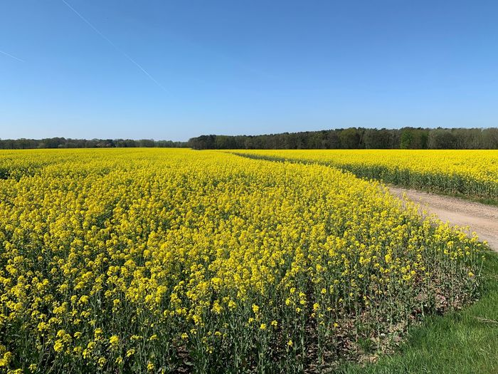 Gelb Spring Frühling Rapsblüte Sky Field Landscape Yellow Land Plant Growth Beauty In Nature Agriculture Flower Scenics - Nature Flowering Plant Clear Sky Nature