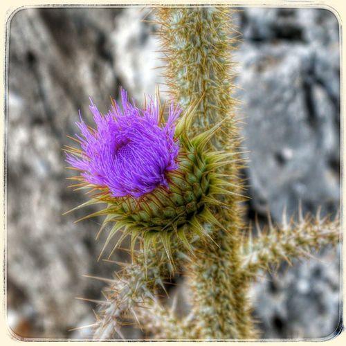 Греция родос остров чертополох Greece Rhodes Island Flower Thistle HDR Lategram