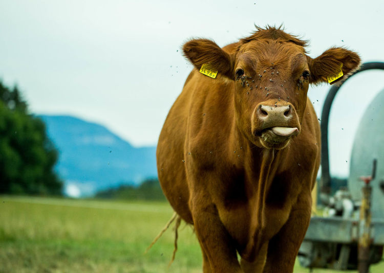 Agriculture Animal Themes Beauty In Nature Cattle Close-up Day Domestic Animals Field Grass Landscape Livestock Mammal Nature No People One Animal Outdoors Pasture Rural Scene