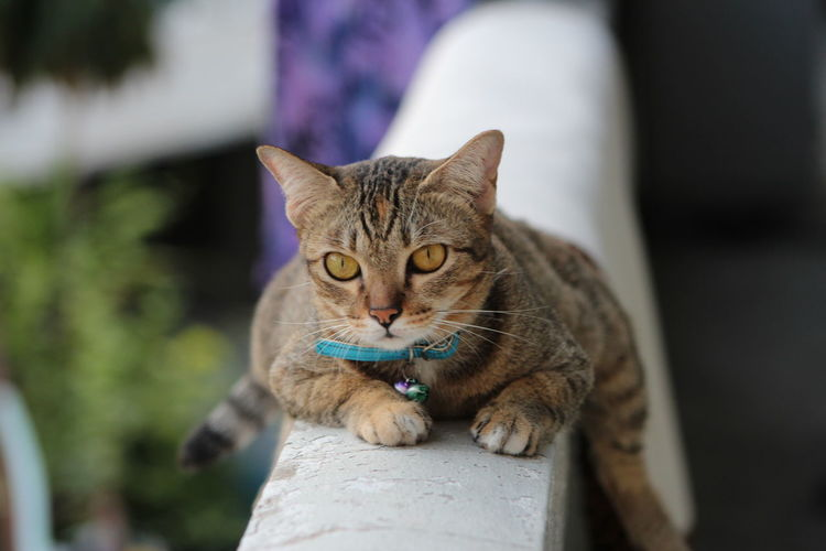The tiger cat stay on the wall of balcony,cats are look like the tigers , asian pets.