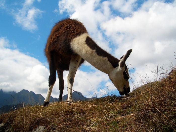 Llama grazing on field against sky