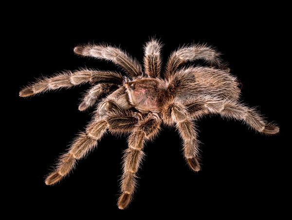 Bug Insect Macro  Isolated Spider Stock Photo Bugs Creepy Insect Isolated On Black Pet Pet Animal Pets Scorpion Spiders Stinger Tarantula