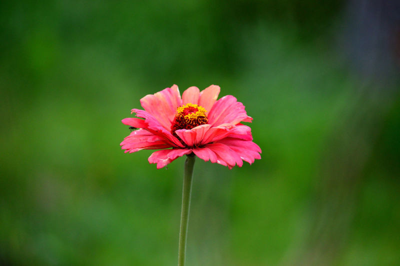 Beauty In Nature Blooming Close-up Day Flower Flower Head Focus On Foreground Fragility Freshness Growth Nature No People Outdoors Petal Pink Color Plant Zinnia
