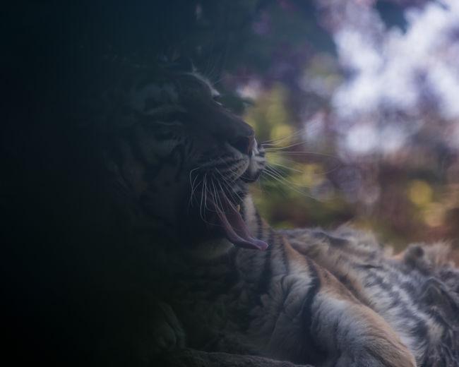 Close-Up Of Yawning Tiger