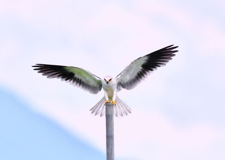 Black winged