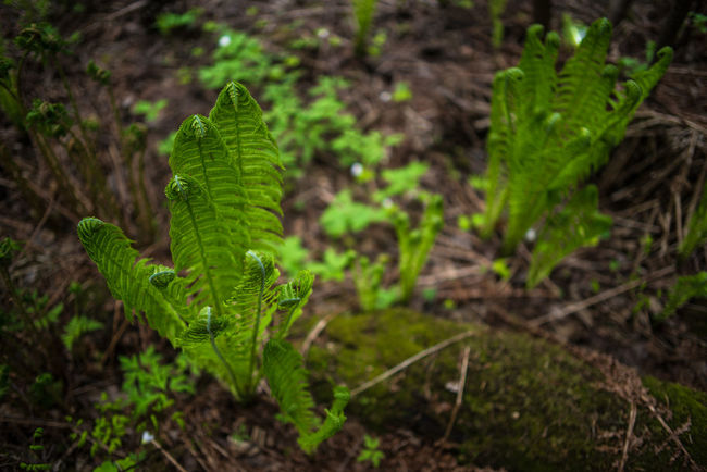 In Lintula larch forest Beauty In Nature Close-up Day Fallen Tree Focus On Foreground Forest Green Color Growth Leaf Matteuccia Struthiopteris Moss Nature No People Ostrich Fern Outdoors Plant Riverside SP Tree Trunk Woods