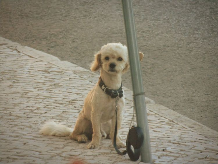 """""""Say what?"""" Cobblestone Streets Dogs Of EyeEm Dog Portrait Cats And Dogs Pet Collar EyeEm Gallery EyeEm Best Shots Pets Dog Domestic Animals Animal Themes Mammal Footpath Canine Pavement Animal Animal Photography Check This Out Relaxing Taking Photos"""