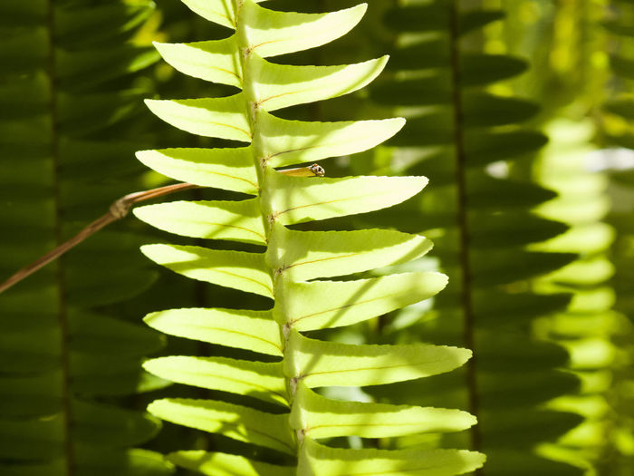 Backgrounds Beauty In Nature Botany Close-up Day Detail Ferm Focus On Foreground Full Frame Green Green Color Growing Growth Leaf Leaves Natural Pattern Nature No People Outdoors Plant Tranquility