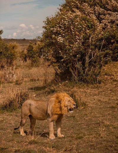Kenya Masai Mara National Reserve Masai Mara Africa Safari Wildlife Animal Animals In The Wild Mammal Animal Themes Plant Lion - Feline Tree Animal Wildlife No People Nature Landscape Day Vertebrate Animal Family Outdoors
