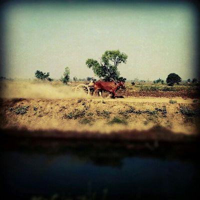 Cows Cart Instamyanmar Doin theirworkforaliveunderthesunhotweathersunnylikedesertigersmyanmar
