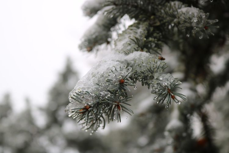 Frozen Pine Tree Beauty In Nature Branch Close-up Cold Temperature Day Focus On Foreground Fragility Freshness Frozen Growth Nature No People Outdoors Snow Snowflake Tree Weather Winter