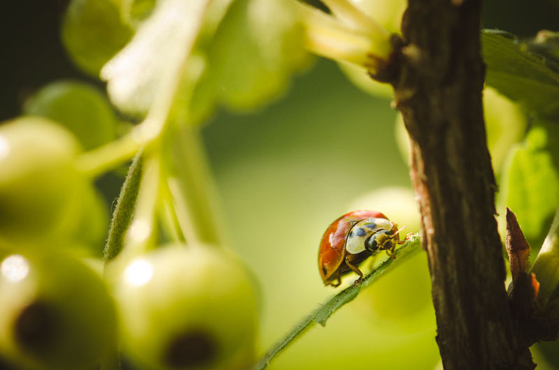 Close-Up Of Ladybug On Red Currant Plant