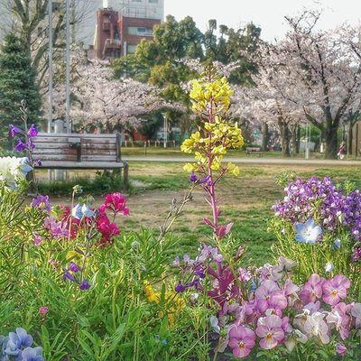 通勤途中の公園。東京の桜 はまだ見頃は続いてます。花 も色々綺麗です名前はわかりません Cherry Flowers Flowering Nice Nice Day Color Beautiful Park Green Plant 花見 お花見 色 鮮やか Bench Igersjp Ig_japan Tokyocameraclub Bestjapanpics Japan_photo_now Japan_daytime_view 写真好きな人と繋がりたい 写真撮ってる人と繋がりたい japan桜