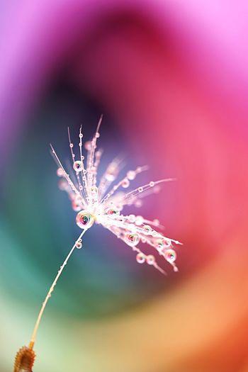 Water Drops Water Droplets Waterdrops Fluff Of A Dandelion RainbowRose Rainbow Kenko DG EXTENSION TUBE 834008 SONY SEL90M28G SONY ILCE-7M2 Close-up Fragility No People Flower Flower Head EyeEmNewHere