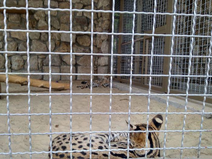 serval - big