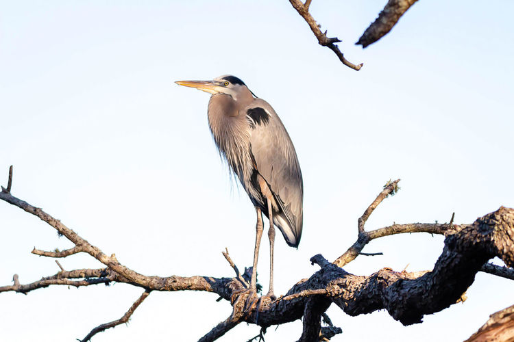 Vertebrate Animal Themes Bird Animals In The Wild Animal Animal Wildlife Perching Branch Tree One Animal Plant Sky Low Angle View Bare Tree No People Nature Day Heron Clear Sky Outdoors