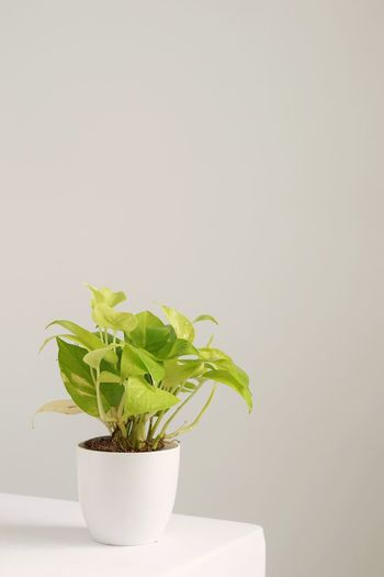 Potted plant on table against white background