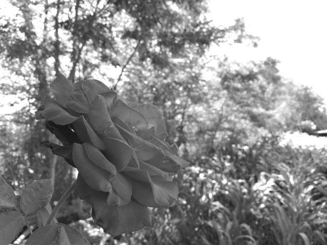 Flower Black&white Beauty In Nature Sky Outdoors