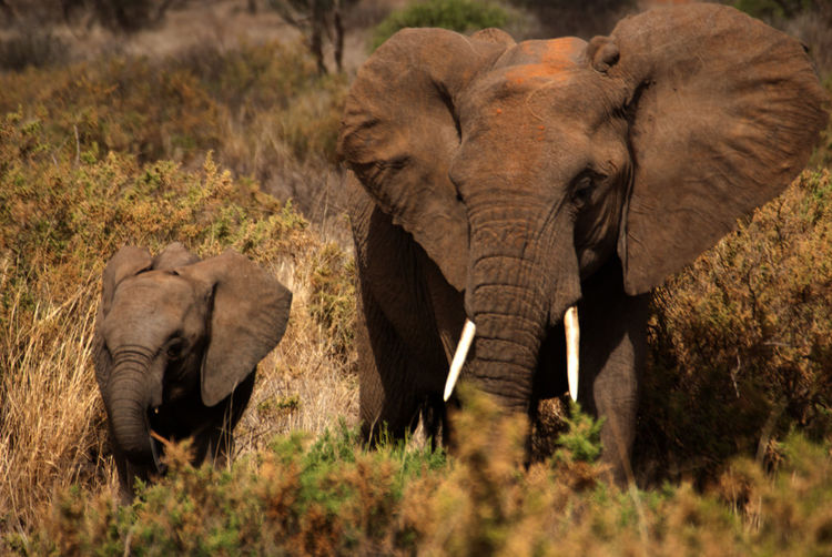 View of african elephant walking with calf on grass
